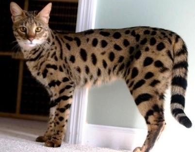 L\u0027Ashera est le chat le plus rare et le plus cher du monde. Ne vous fiez  pas à son allure élancée, il peut peser jusqu\u0027 à 14,7 kilos.