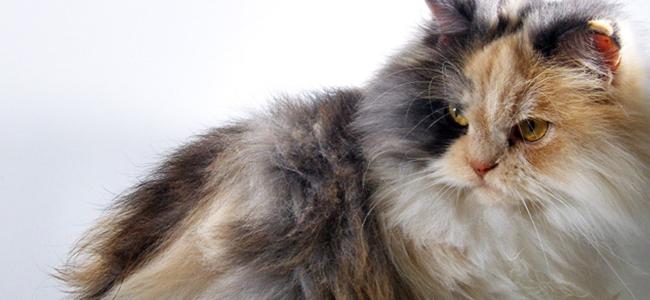 TOP 10 des chats les plus chers du monde , L\u0027Union des